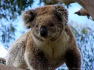 Great Ocean Road- Wild Koala
