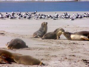 Kangaroo Island - Sea Lions