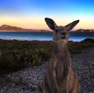 Australia Bucket List - Kangaroo on the Beach - Lucky Bay WA