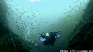 Julian Rocks Dive - Eastern Pomfrets