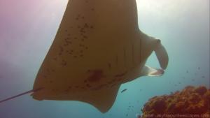 Stradbroke - Manta ray