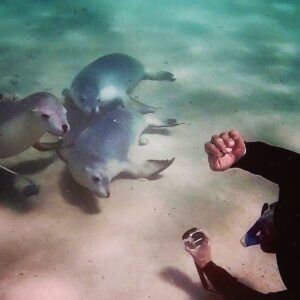 sea lion baird bay