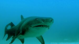 Julian Rocks 03 Grey Nurse Shark