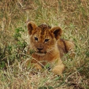 Safari in Tanzania - Lion Cub