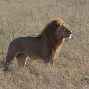 Safari in Tanzania - lion