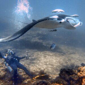 Scuba Diving Stradbroke Island - Manta Ray with scuba diver