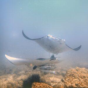 Scuba Diving Stradbroke Island - Mantas