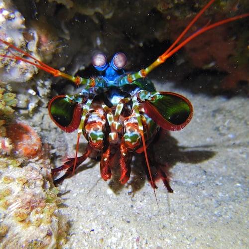 Scuba diving stradbroke island mantis shrimp