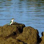Boondall Wetlands - Kingfisher