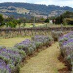 Kooroomba scenic rim Kangaroo Lavender Farm