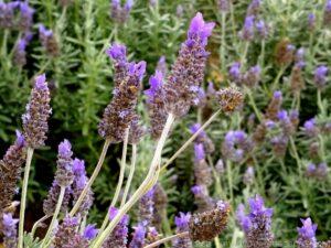 08 kooroomba scenic rim Lavender