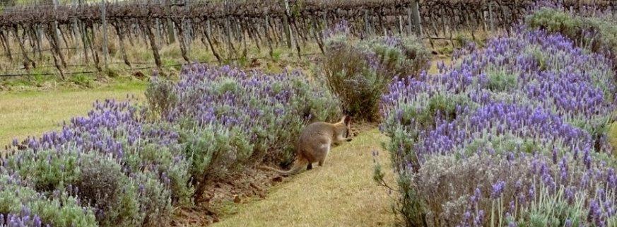 Brisbane Lavender Farm Kooroomba Wallaby