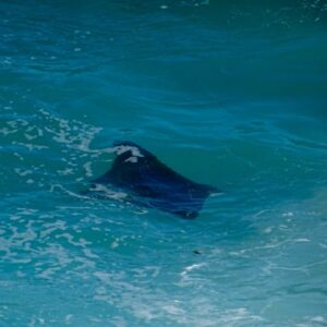 Manta ray from Point Lookout