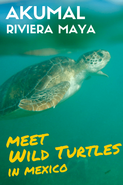 Snorkeling in Akumal with wild turtles in Mexico