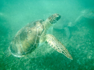 akumal - turtle (playa del carmen - tulum mexico)
