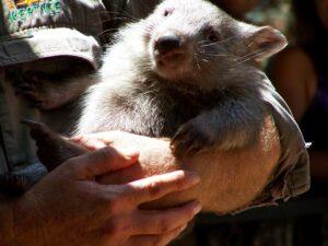 hold-a-wombat-australia
