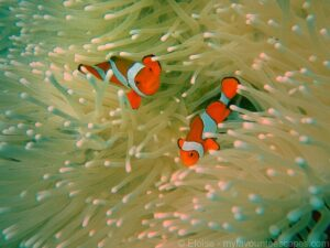 cairns_-_diving_great_barrier_reef_-_clownfish