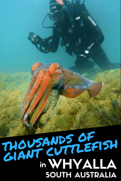 Giant Cuttlefish - whyalla - south australia