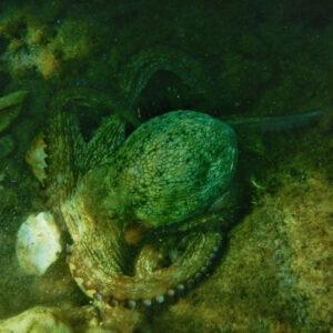 Port-Cros-Octopus