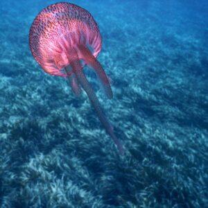port cross snorkelling jelly fish