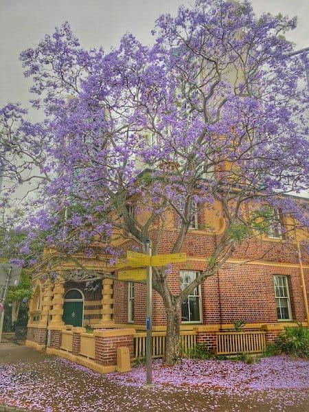 Brisbane - Jacarandas - City Botanic Gardens Alice St