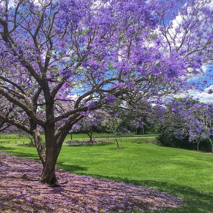 Brisbane - Jacarandas - Goodna 04