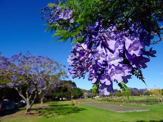 Brisbane - Jacarandas - New Farm Park 02