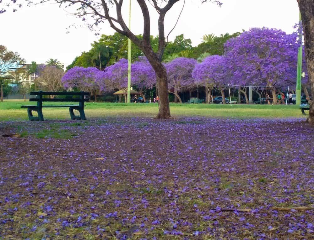 Brisbane - Jacarandas - New Farm Park landscape