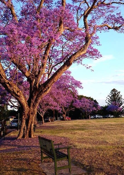 Brisbane - Jacarandas - New Farm Park portrait