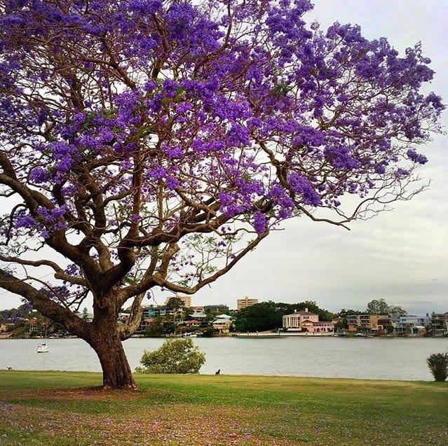 Brisbane - Jacarandas - River Walk
