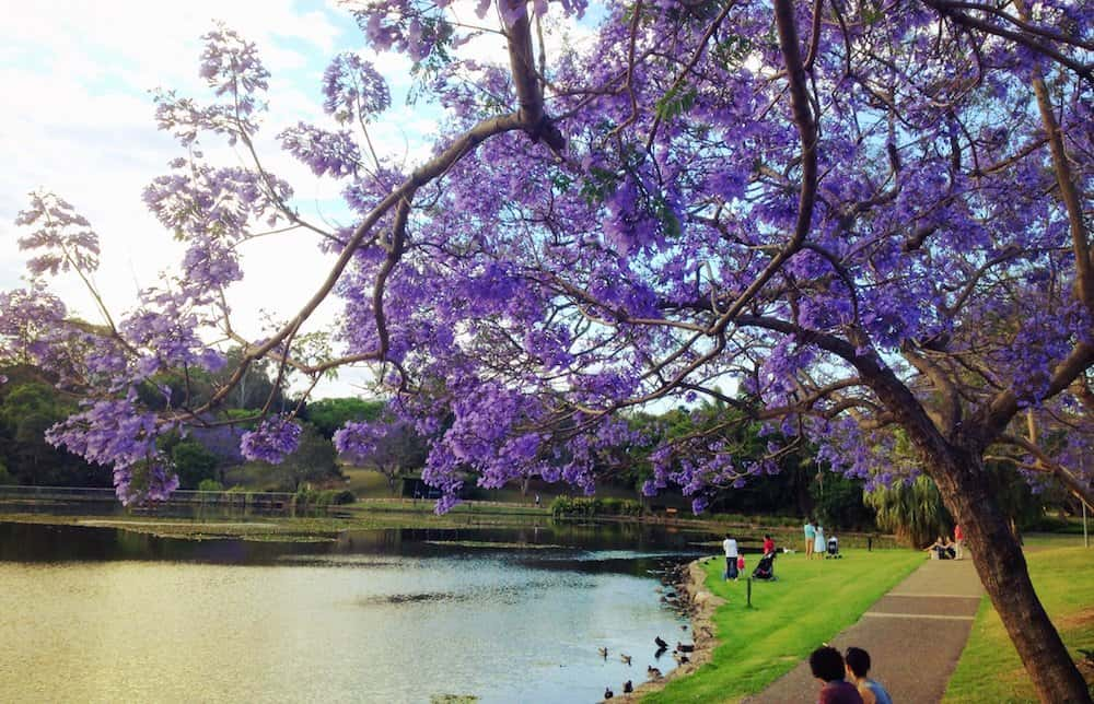 Where to See Jacaranda Trees in Brisbane: the Best Places
