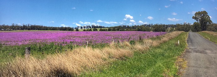 Granite Belt - Purple field during Spring