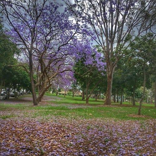 Jacaranda trees in Brisbane - Guyatt Park