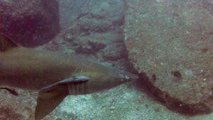Rainbow Beach Diving Wolf Rock 05 - Grey Nurse Shark