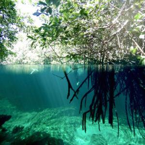 DSCN2255-Casa-Cenote-Mangrove-under-above-water