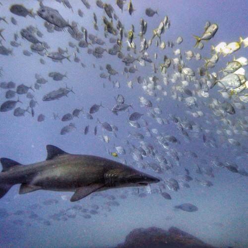 Grey Nurse Shark Wolf Rock Diving Rainbow Beach