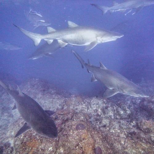 Grey Nurse Sharks Group Wolf Rock Diving Rainbow Beach