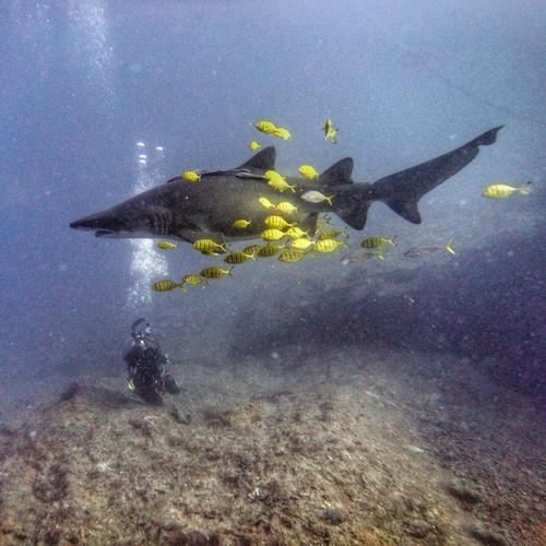 Grey Nurse Sharks Wolf Rock Diving