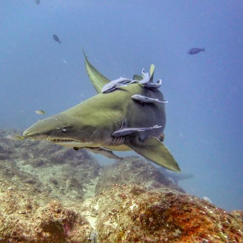 Wolf Rock Dive Grey Nurse Shark