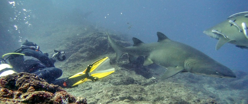 Wolf Rock Dive Grey Nurse Sharks