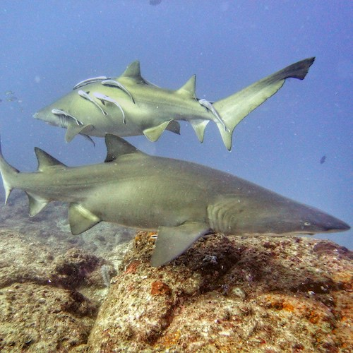 Wolf Rock Diving Grey Nurse Sharks