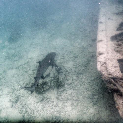 Heron Island - Black tip shark at the wreck