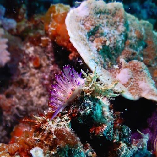 Heron Island - Dive - Nudibranch