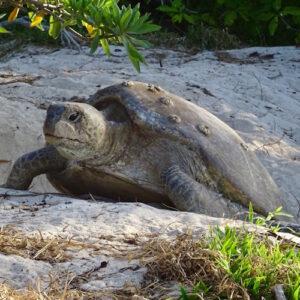 Heron Island - Turtle