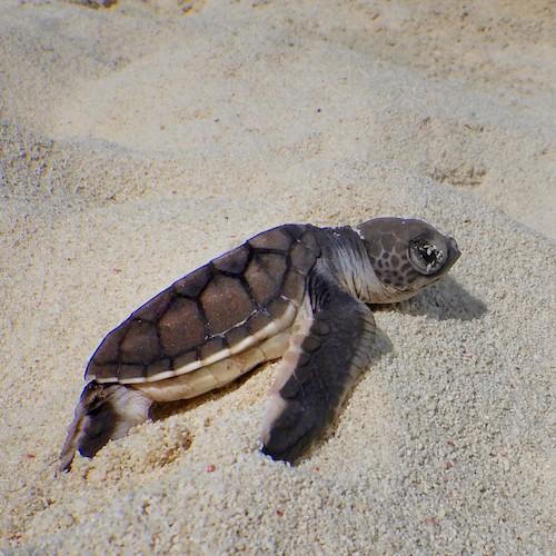 Heron Island - Turtle Hatchling on the beach 01