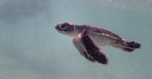 Heron Island - Turtle Hatchling swimming 02b
