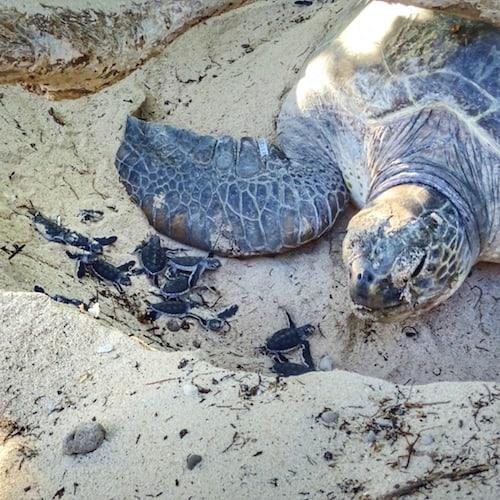 Heron Island - Turtle nesting and hatchlings