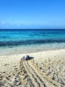 Heron Island - Turtle on the beach copy