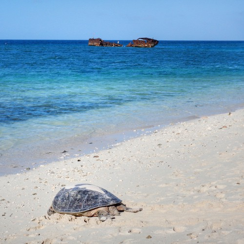 Heron Island - Turtle on the beach with the wreck