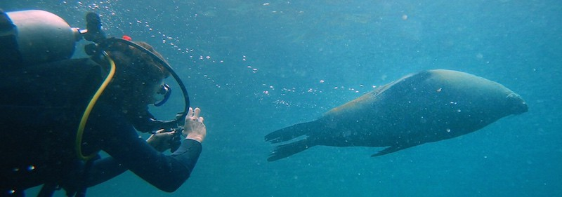 Montague Island Dive with Seals 01 pano